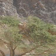 eilat-mountains-goat
